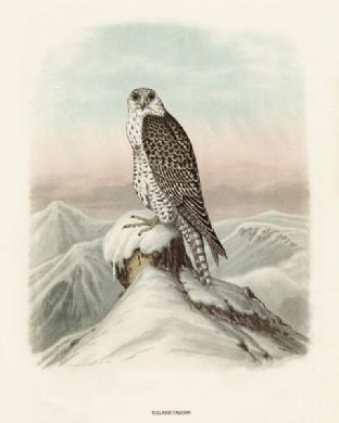 Falcon, Iceland by O V Riesenthal